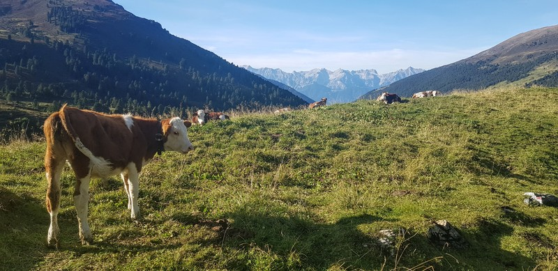 Cow with a beautiful view over the Alps